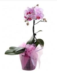 1 dal pembe orkide saksı çiçeği  Bilecik çiçekçi kaliteli taze ve ucuz çiçekler