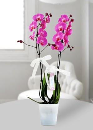 Çift dallı mor orkide  Bilecik çiçekçi çiçekçiler