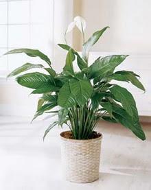 Bilecik çiçekçi online çiçek gönderme sipariş  spatilyum ithal büyük boy