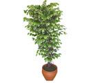Ficus özel Starlight 1,75 cm   Bilecik çiçekçi cicek , cicekci
