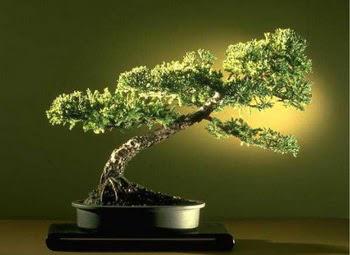 ithal bonsai saksi çiçegi  Bilecik çiçekçi çiçekçi mağazası