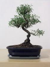 ithal bonsai saksi çiçegi  Bilecik çiçekçi çiçek siparişi vermek