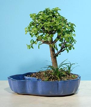 ithal bonsai saksi çiçegi  Bilecik çiçekçi çiçekçiler