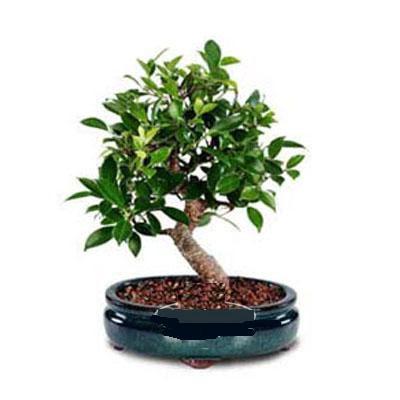 ithal bonsai saksi çiçegi  Bilecik çiçekçi çiçek siparişi sitesi