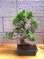 ithal bonsai saksi çiçegi  Bilecik çiçekçi hediye sevgilime hediye çiçek