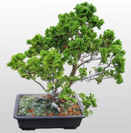 ithal bonsai saksi çiçegi  Bilecik çiçekçi İnternetten çiçek siparişi