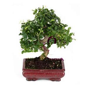 ithal bonsai saksi çiçegi  Bilecik çiçekçi anneler günü çiçek yolla