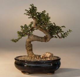 ithal bonsai saksi çiçegi  Bilecik çiçekçi 14 şubat sevgililer günü çiçek