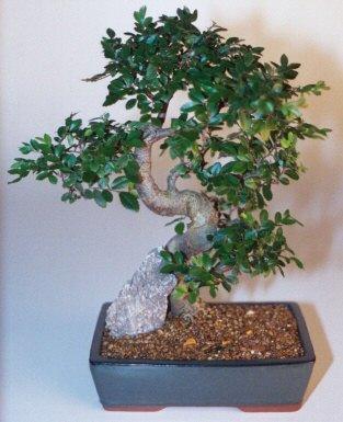 Bilecik çiçekçi çiçek gönderme sitemiz güvenlidir  ithal bonsai saksi çiçegi  Bilecik çiçekçi çiçek siparişi sitesi