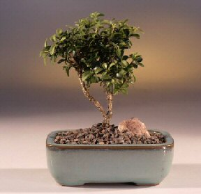 Bilecik çiçekçi çiçek yolla  ithal bonsai saksi çiçegi  Bilecik çiçekçi internetten çiçek satışı