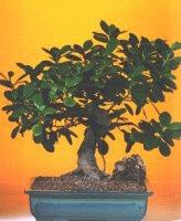 Bilecik çiçekçi çiçekçi telefonları  ithal bonsai saksi çiçegi  Bilecik çiçekçi internetten çiçek siparişi