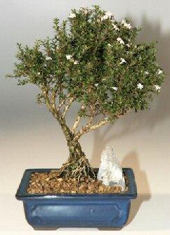 Bilecik çiçekçi çiçek , çiçekçi , çiçekçilik  ithal bonsai saksi çiçegi  Bilecik çiçekçi online çiçek gönderme sipariş