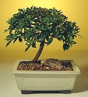 Bilecik çiçekçi ucuz çiçek gönder  ithal bonsai saksi çiçegi  Bilecik çiçekçi cicek , cicekci