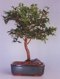Bilecik çiçekçi ucuz çiçek gönder  ithal bonsai saksi çiçegi  Bilecik çiçekçi anneler günü çiçek yolla