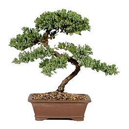 ithal bonsai saksi çiçegi  Bilecik çiçekçi çiçek gönderme sitemiz güvenlidir