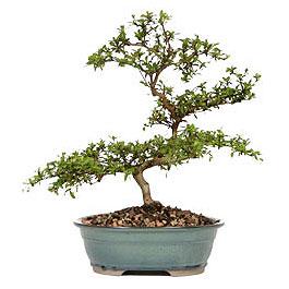 Bilecik çiçekçi İnternetten çiçek siparişi  ithal bonsai saksi çiçegi  Bilecik çiçekçi çiçek gönderme sitemiz güvenlidir