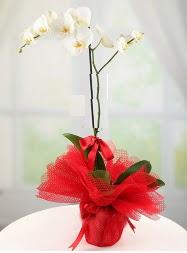 1 dal beyaz orkide saksı çiçeği  Bilecik çiçekçi yurtiçi ve yurtdışı çiçek siparişi