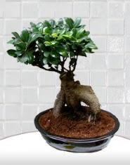 saksı çiçeği japon ağacı bonsai  Bilecik çiçekçi kaliteli taze ve ucuz çiçekler