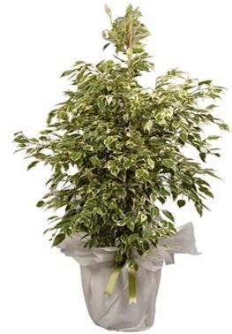 Orta boy alaca benjamin bitkisi  Bilecik çiçekçi internetten çiçek satışı