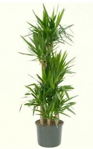 7 li yucca saksı bitkisi  Bilecik çiçekçi çiçek servisi , çiçekçi adresleri