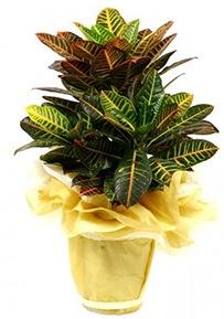 Orta boy kraton saksı çiçeği  Bilecik çiçekçi 14 şubat sevgililer günü çiçek