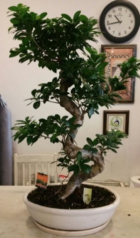 100 cm yüksekliğinde dev bonsai japon ağacı  Bilecik çiçekçi İnternetten çiçek siparişi