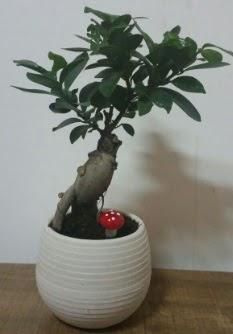 Bonsai japon ağacı saksı çiçeği  Bilecik çiçekçi çiçek gönderme sitemiz güvenlidir