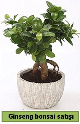 Ginseng bonsai japon ağacı satışı  Bilecik çiçekçi çiçekçi telefonları