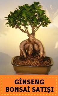 Ginseng bonsai satışı japon ağacı  Bilecik çiçekçi cicek , cicekci