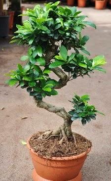 Orta boy bonsai saksı bitkisi  Bilecik çiçekçi internetten çiçek siparişi