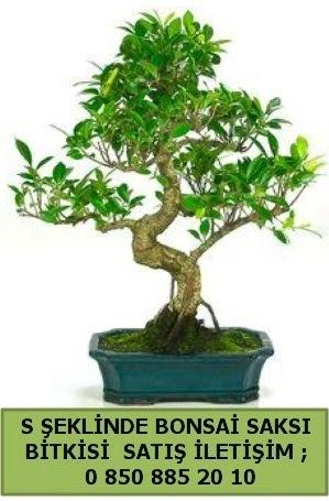 İthal S şeklinde dal eğriliği bonsai satışı  Bilecik çiçekçi çiçek gönderme
