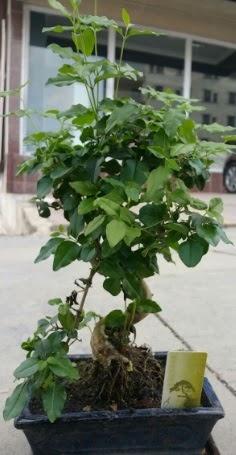 Bonsai japon ağacı saksı bitkisi  Bilecik çiçekçi çiçek siparişi vermek