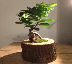 Doğal kütükte Bonsai japon ağacı satışı  Bilecik çiçekçi internetten çiçek satışı