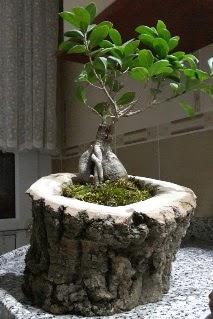Ahşap kütük içerisinde ginseng bonsai  Bilecik çiçekçi internetten çiçek siparişi