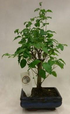 Minyatür bonsai japon ağacı satışı  Bilecik çiçekçi çiçekçi telefonları