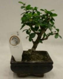 Küçük minyatür bonsai japon ağacı  Bilecik çiçekçi çiçek gönderme