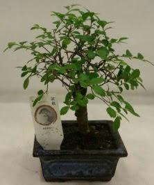 Minyatür ithal japon ağacı bonsai bitkisi  Bilecik çiçekçi çiçek satışı