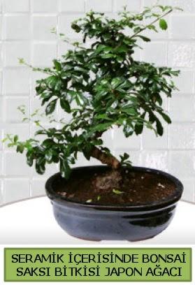 Seramik vazoda bonsai japon ağacı bitkisi  Bilecik çiçekçi çiçek siparişi sitesi