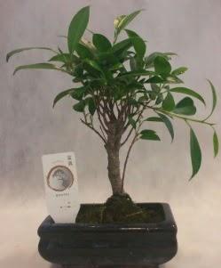Bonsai japon ağacı bitkisi satışı  Bilecik çiçekçi çiçek gönderme sitemiz güvenlidir