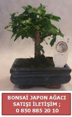 Japon ağacı minyaür bonsai satışı  Bilecik çiçekçi çiçek satışı