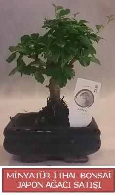 Küçük görsel bonsai japon ağacı bitkisi  Bilecik çiçekçi çiçek , çiçekçi , çiçekçilik