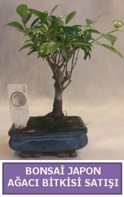 İthal Bonsai japon ağacı bitkisi satışı  Bilecik çiçekçi İnternetten çiçek siparişi