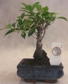 Bonsai ağacı japon ağaç bitkisi  Bilecik çiçekçi çiçek yolla