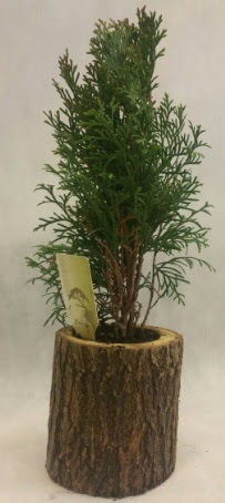 SINIRLI STOK Selvi Bonsai Doğal kütükte  Bilecik çiçekçi İnternetten çiçek siparişi