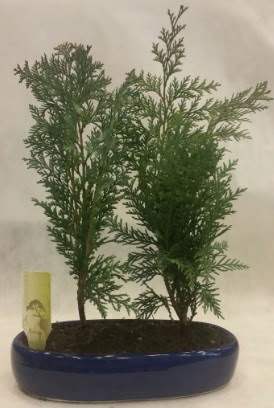 SINIRLI SAYIDA Selvi Ağacı bonsai ikili  Bilecik çiçekçi çiçekçi telefonları