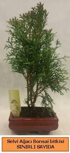 Selvi ağacı bonsai japon ağacı bitkisi  Bilecik çiçekçi çiçek satışı
