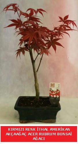 İTHAL ACER RUBRUM BONSAİ AĞACI  Bilecik çiçekçi çiçek gönderme sitemiz güvenlidir
