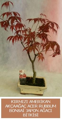 Amerikan akçaağaç Acer Rubrum bonsai  Bilecik çiçekçi uluslararası çiçek gönderme