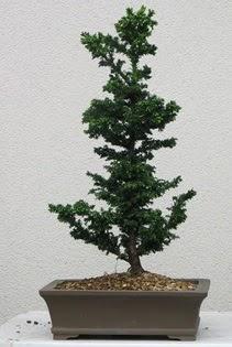 Çam ağacı bonsai bitkisi satışı  Bilecik çiçekçi çiçekçi telefonları