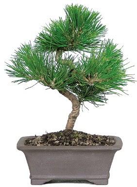 Çam ağacı bonsai japon ağacı bitkisi  Bilecik çiçekçi çiçek gönderme